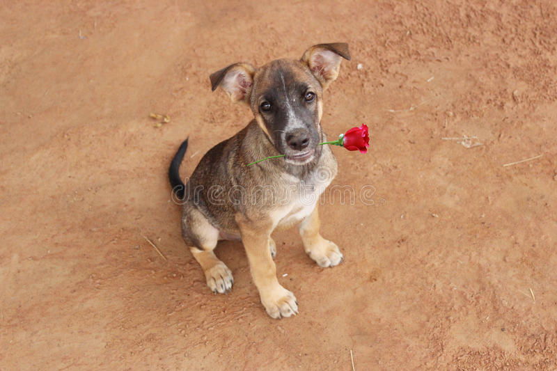 Dog with Rose Happy Valentine`s Day. royalty free stock images
