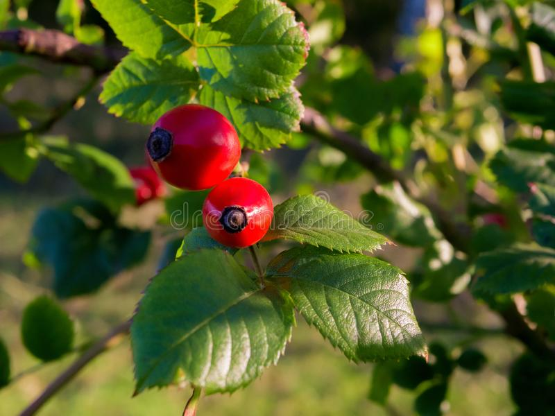 Dog rose red berries closeup. Red rosehip berries on a bush. Autumn nature. Selective focus. stock images