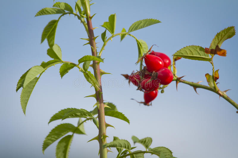 Download Dog rose - Rosa Canina stock photo. Image of leaves, wild - 27618302