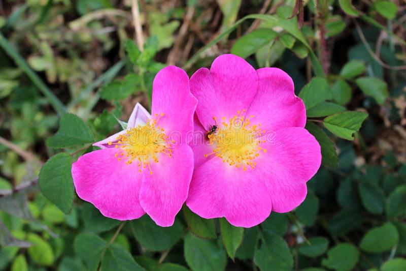 Dog rose or Rosa canina wild rose violet blooming flowers. With missing petals and small insect in middle surrounded with green leaves on warm sunny day royalty free stock image