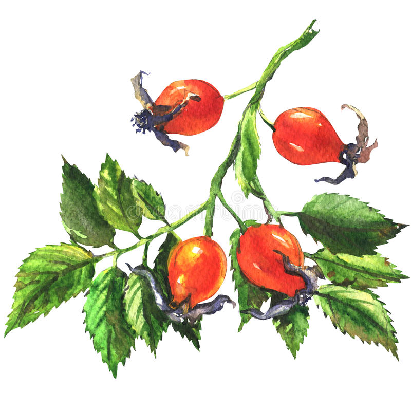 Dog rose, rosehip branch with berries, briar isolated, watercolor illustration stock illustration
