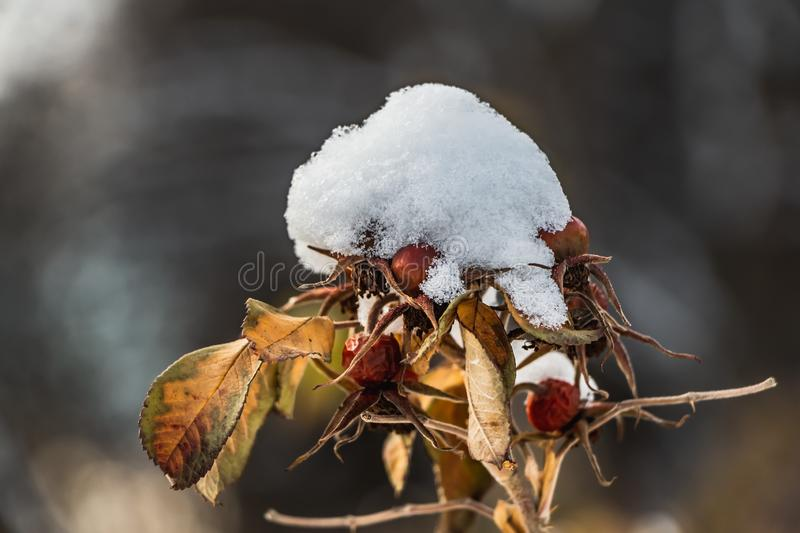 A dog rose with yellow leaves and red dry fruits and white snow is on a blurred background in autumn stock photos