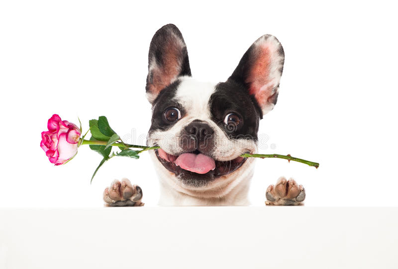 Dog with roses royalty free stock image