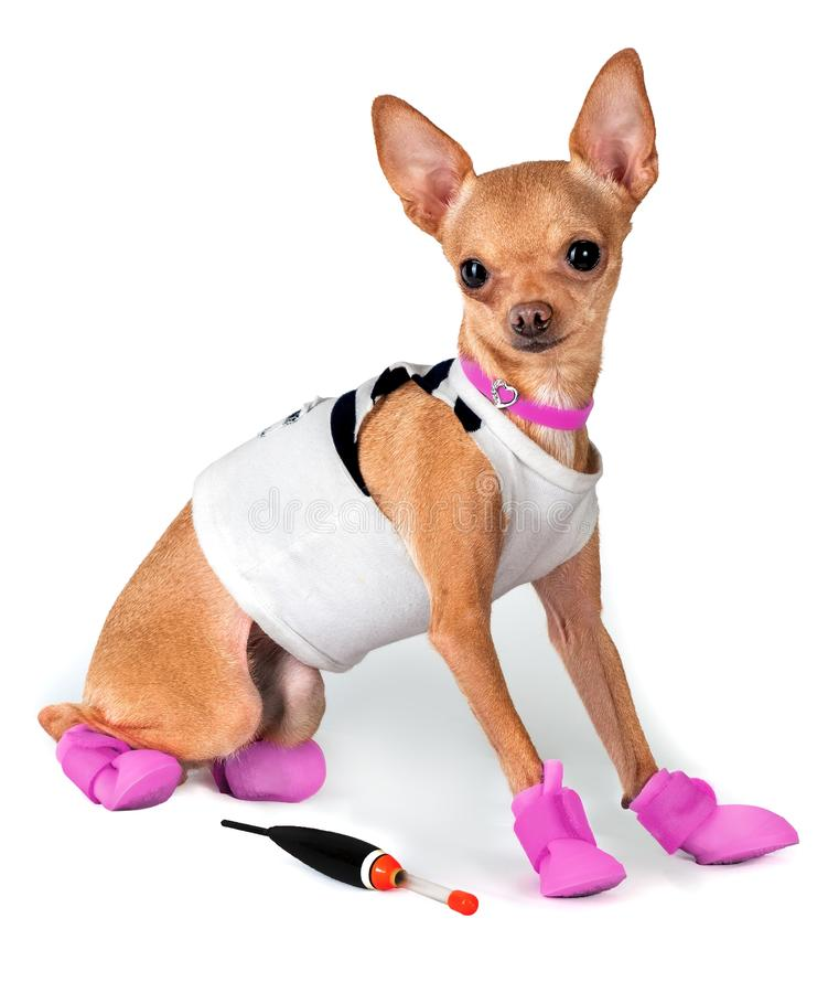 Dog in rubber boots royalty free stock photos