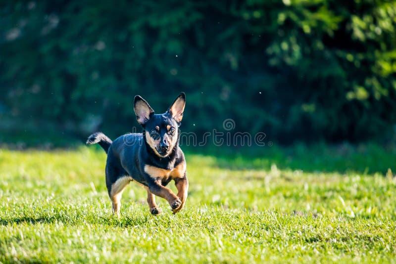 Dog run in meadow. Black small dog run in green meadow, summer time royalty free stock photo