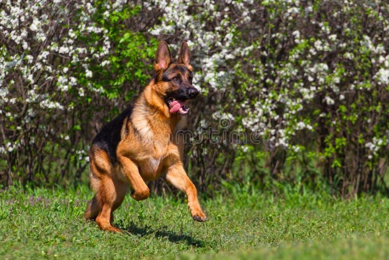 Dog run in park. Shepherd dog run in spring park royalty free stock photo