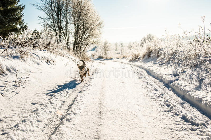 Dog run in winter road royalty free stock image