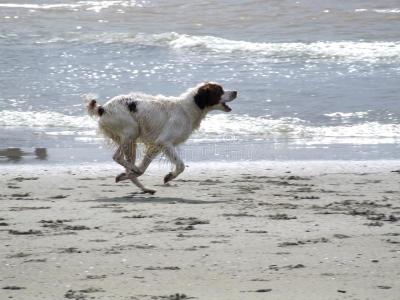 Dog running royalty free stock photography