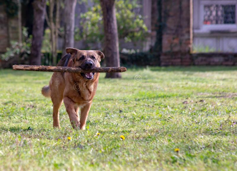 Dog running on an amused lawn with a stick between his teeth as he takes it back to his human friend.. Dog running on an amused lawn with a stick between his royalty free stock photo