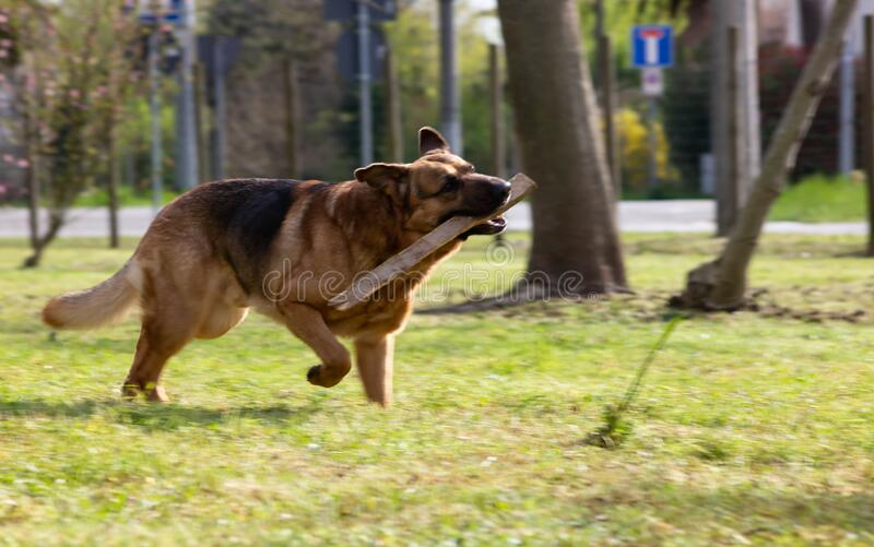 Dog running on an amused lawn with a stick between his teeth as he takes it back to his human friend.. Dog running on an amused lawn with a stick between his royalty free stock image