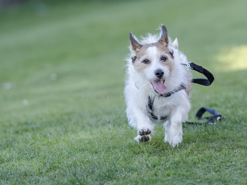 Dog running away lead. A dog with lead running away from owner royalty free stock images