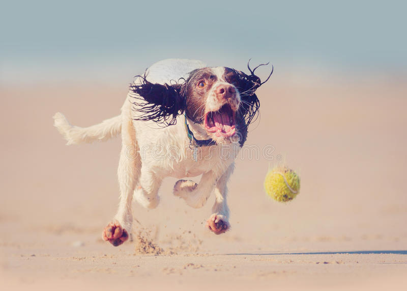 Dog running after ball. Dog running at speed after ball, all feet off the ground stock photography
