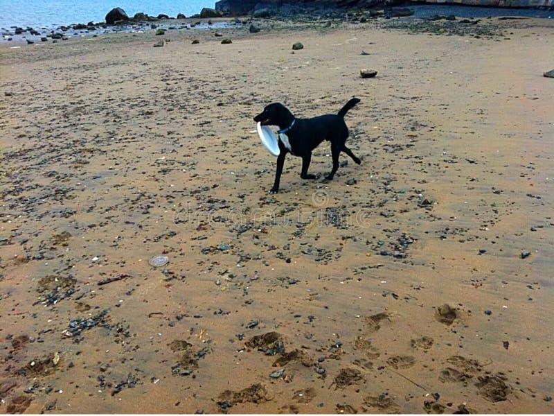 Dog running on beach with frisbee stock photos