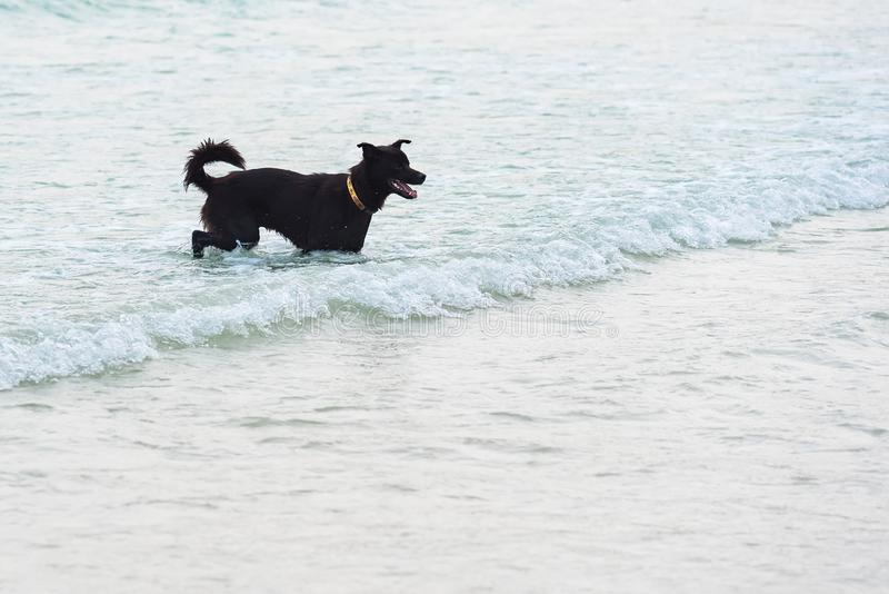 Dog Running on the Beach.Dog in the sea.Thailand. Action, active, adorable, animal, breed, bring, canine, carry, chase, cheerful, coast, companion, cute stock photography
