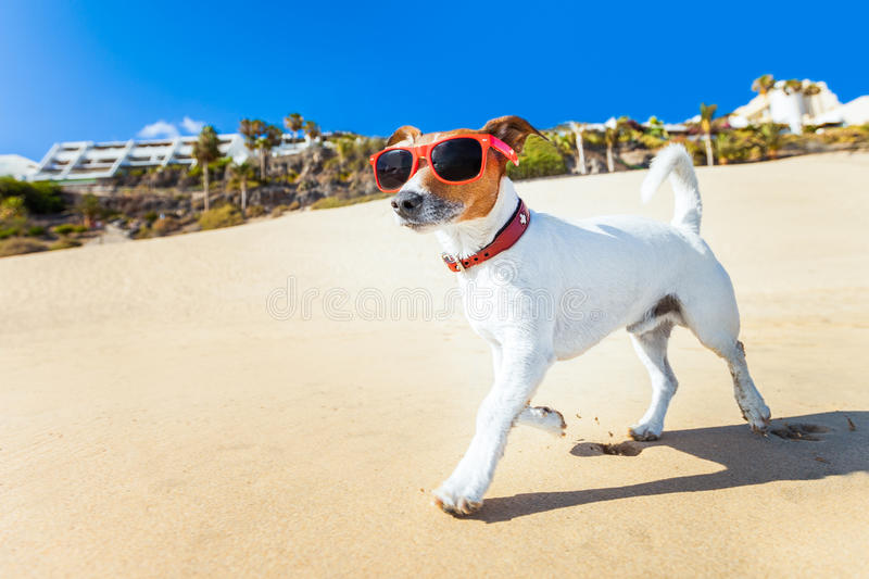 Dog running at beach. Dog with sunglasses running at the beach on summer vacation holidays