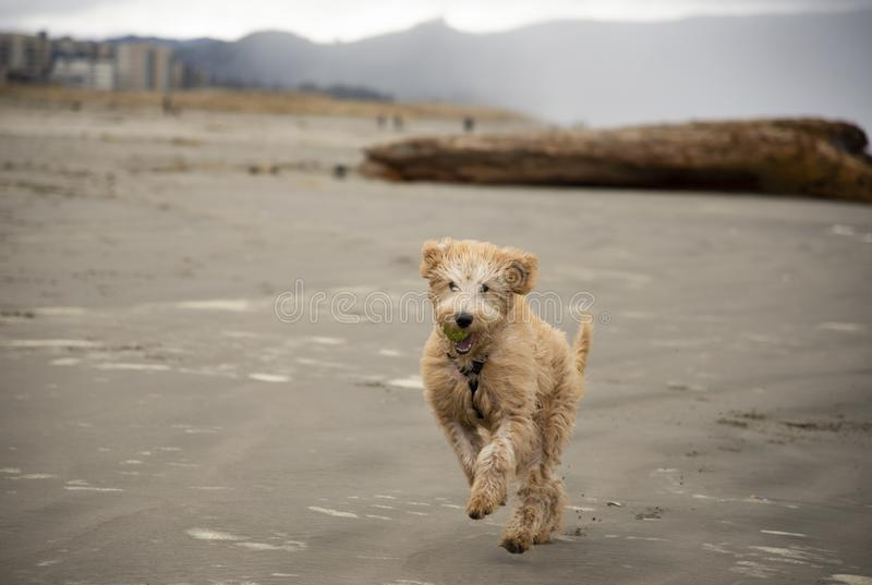 Dog running on beach with tennis ball in mouth stock photography