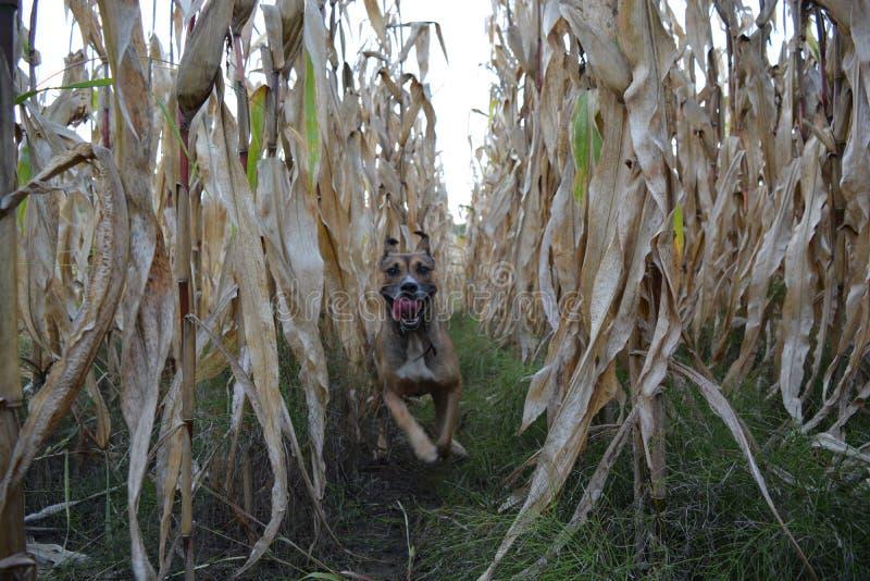 Dog running, cornfield royalty free stock photos