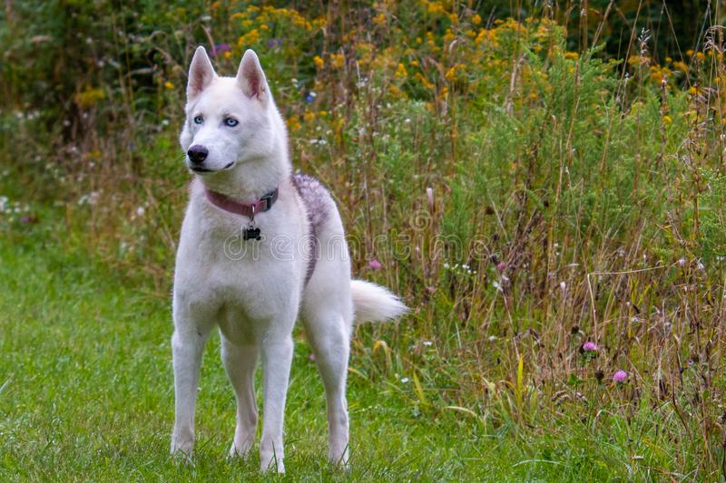 Dog running in grass field, Siberian Husky jumping in the park. royalty free stock photo