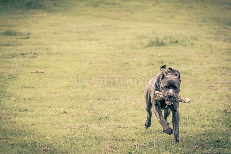 Dog running on grass. Green background stock image