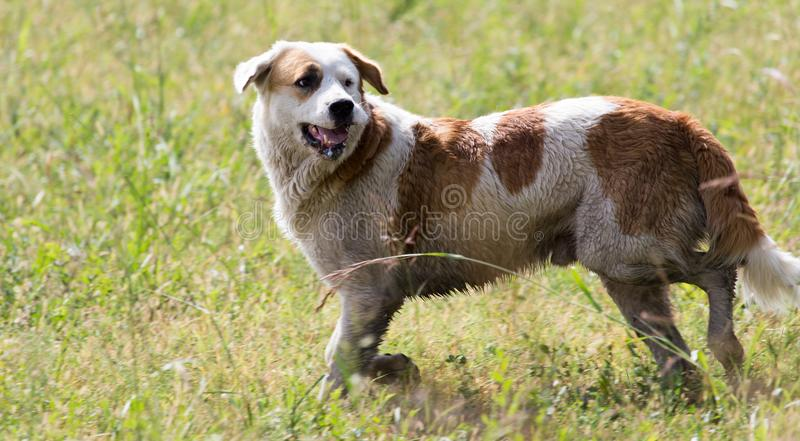 Dog running on grass outdoors stock image