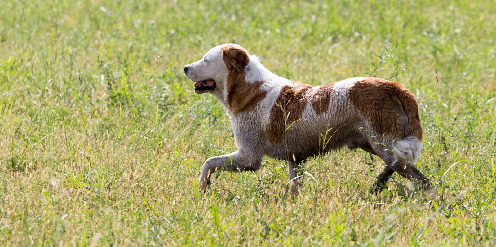 Dog running on grass outdoors royalty free stock images