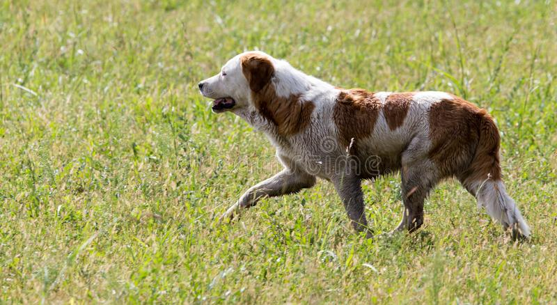 Dog running on grass outdoors stock photo