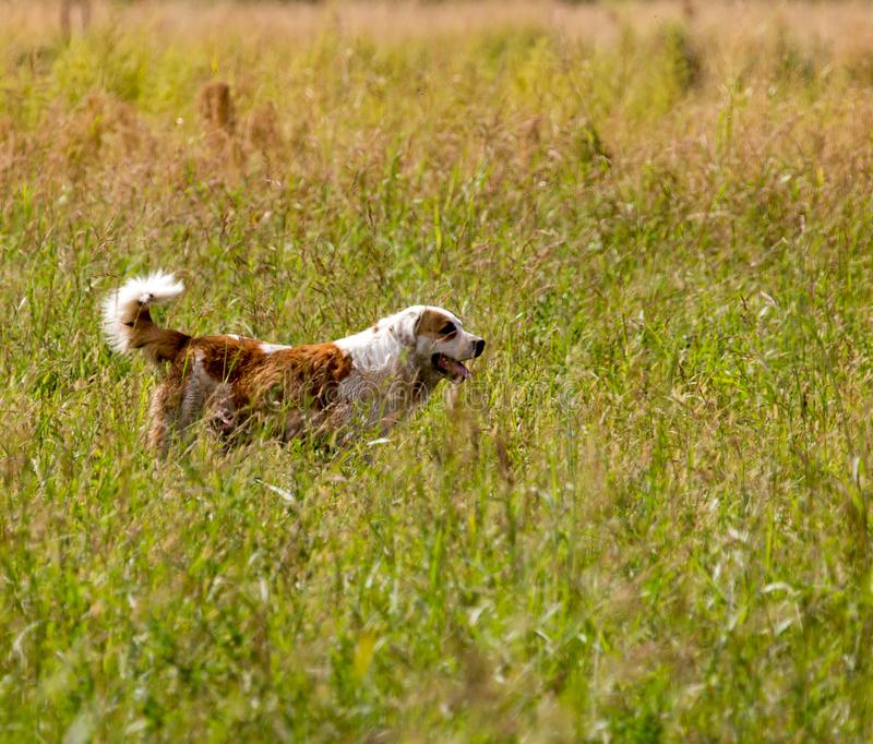 Dog running on grass outdoors royalty free stock image