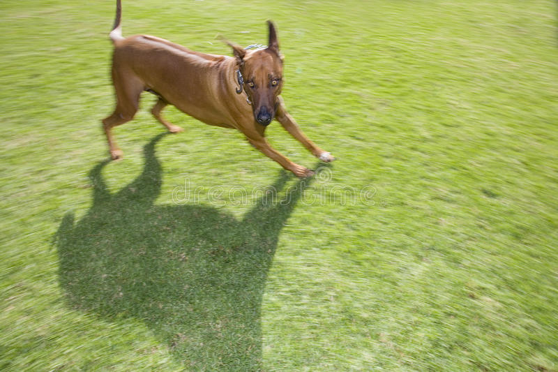 Dog running on grass outdoors, elevated view stock photo