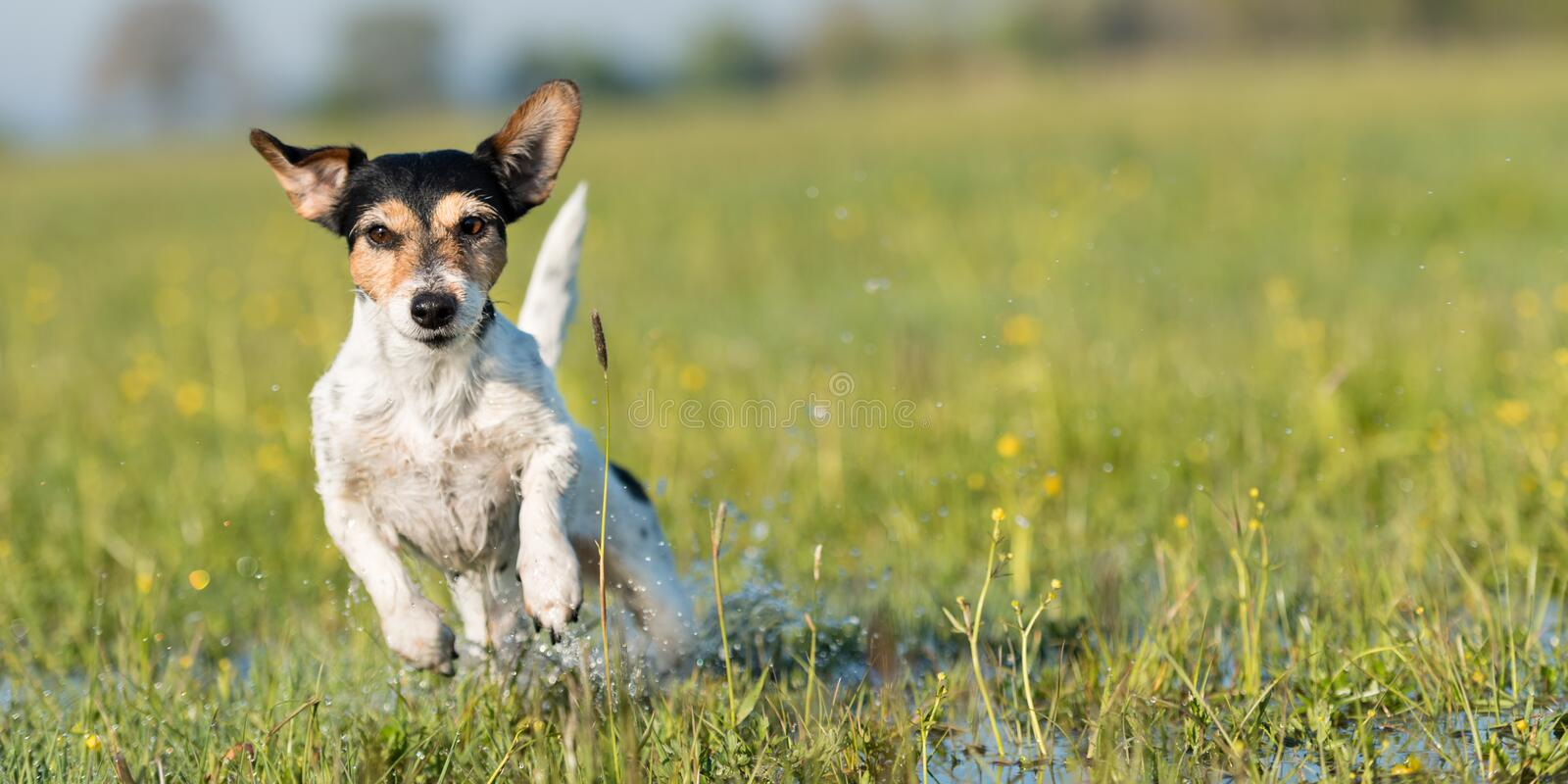 Dog running over dripping wet meadow - jack russell terrier seven years old. Dog running over dripping wet meadow. Small jack russell terrier seven years old stock image