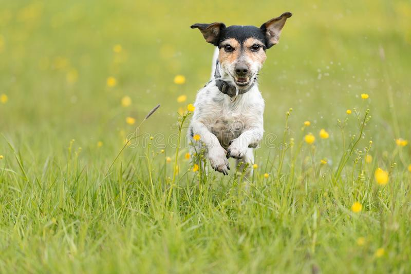 Dog running over dripping wet meadow - jack russell terrier seven years old stock photo