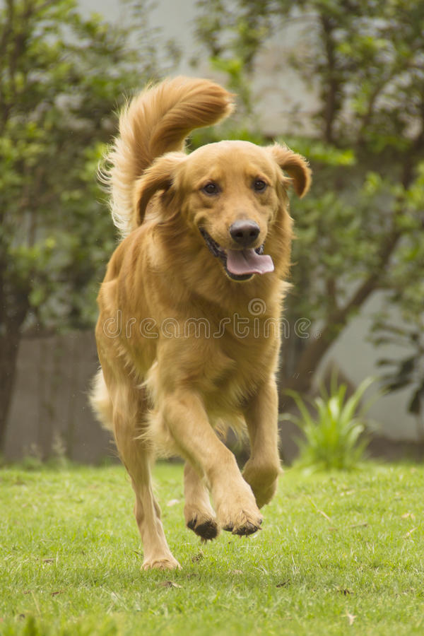 Dog running in a park. stock image