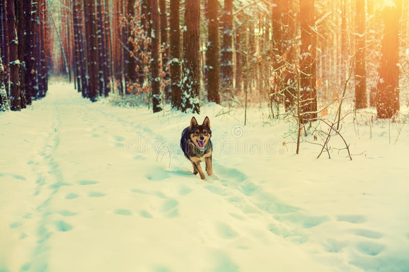 A dog is running in a pine winter forest. A dog is running along the road in a pine winter snowy forest at sunset royalty free stock photography