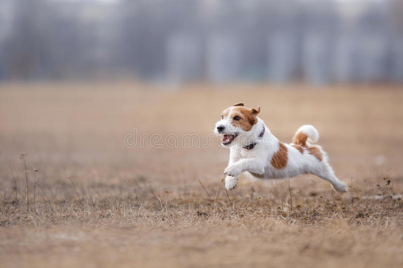 Dog running and playing in the park. Jack Russell Terrier