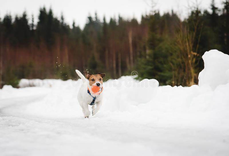 Dog running by road wearing orange LED-collar for safety at evening walk. Jack Russell Terrier fetches orange ball stock photo