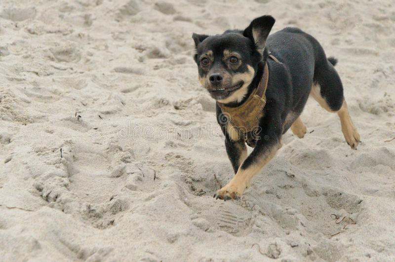 Dog running on the sand stock photo