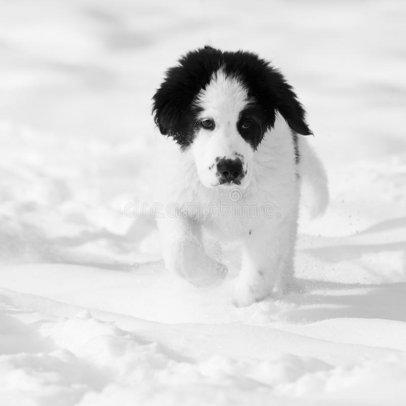 Dog running in snow royalty free stock photography