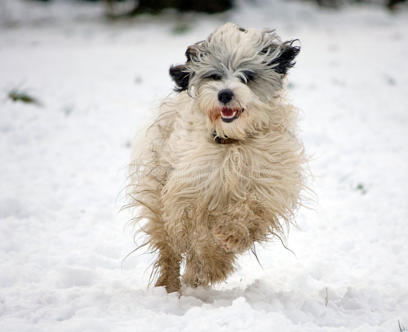 Dog running in snow royalty free stock image