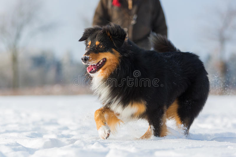 Dog is running in the snow stock image