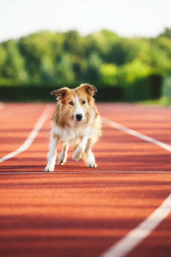 Dog running at sport stadium. In summer royalty free stock photo