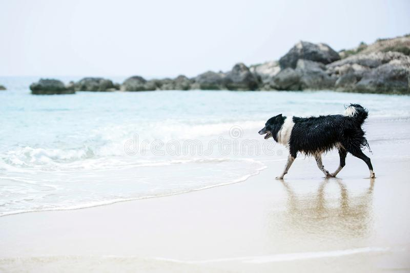 Black and White Border Collie on a Sand Beach. Dog running to the water royalty free stock images