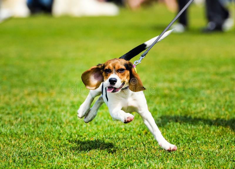 The dog running on a walk. Fitness, sport, people and jogging concept royalty free stock photography