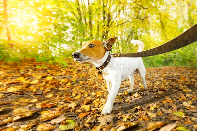 Dog running or walking in autumn royalty free stock images