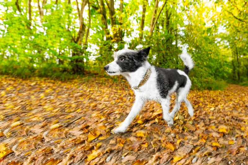 Dog running or walking in autumn stock image