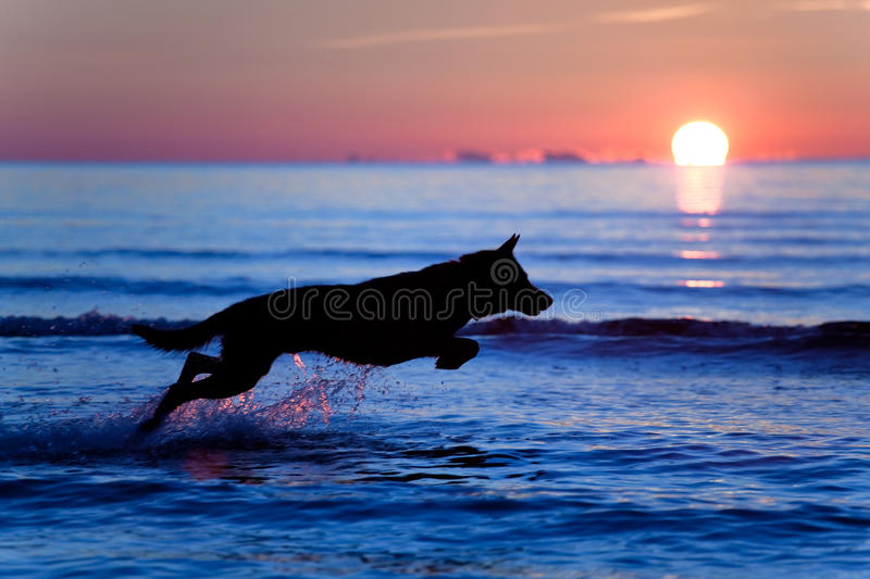 Dog running on water. Silhouette of a dog running on water against sunset royalty free stock image