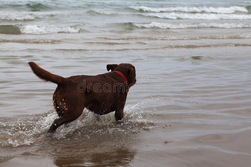 Dog running on the water. Dog running on the water in the sea close-up stock photos