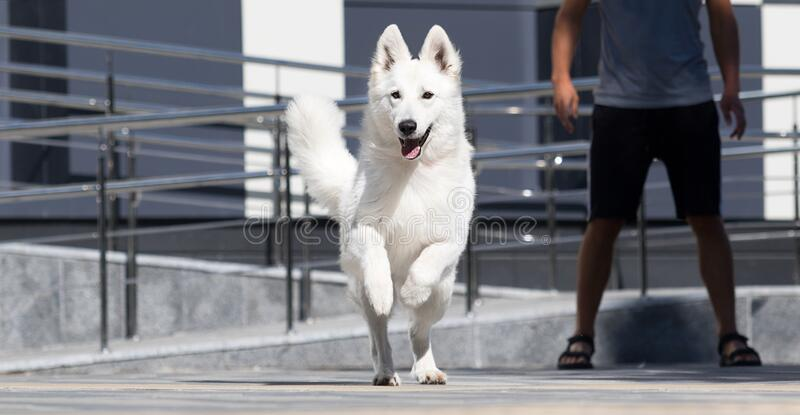 dog runs on the background royalty free stock images