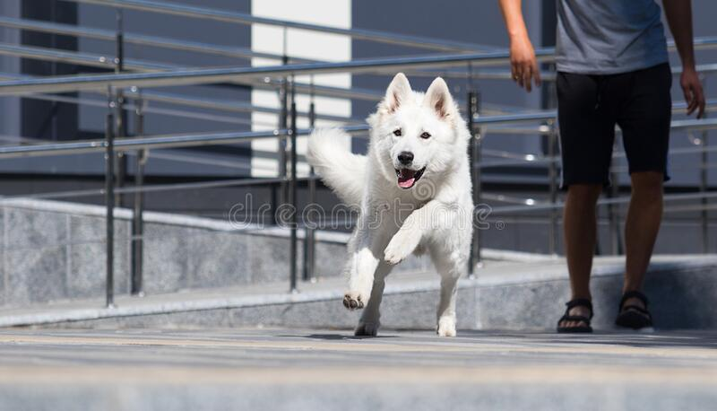 dog runs on the background of a building stock photo