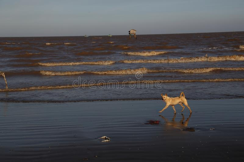 The dog runs on the beach. In a golden afternoon, this beach has a lot of silt, this coast is a farm, far away is the home of the natural seaweed cultivator stock photos