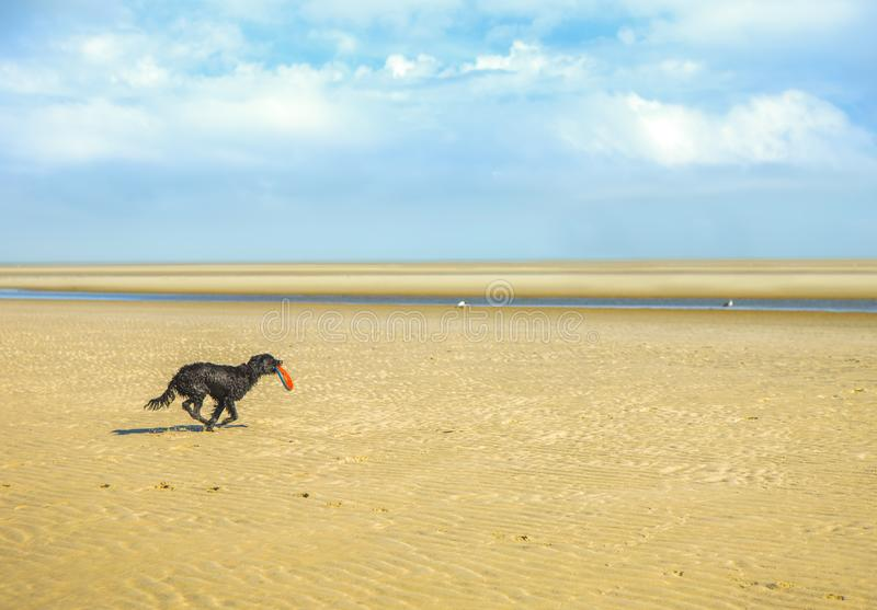 Dog running on a beach stock image