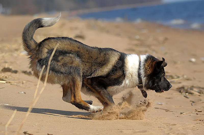 Dog runs on the beach. Dog runs and plays with a ball on the shore royalty free stock image